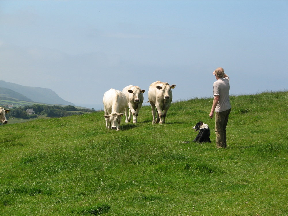 Roger Blewett with beef cows