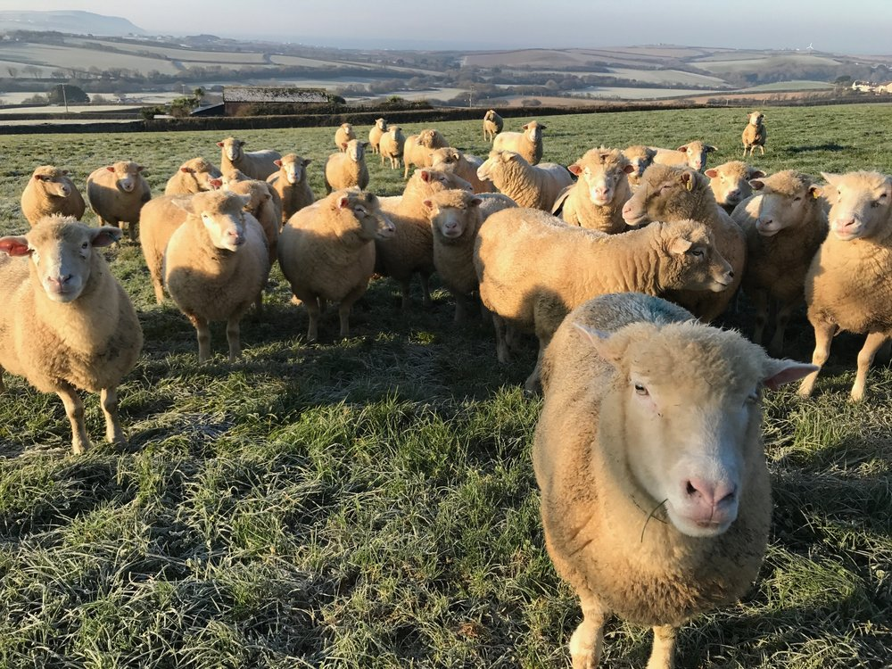 Sheep on the 1st December 2016 - a frosty morning in the field in front of the Woolbarn and Bijou.