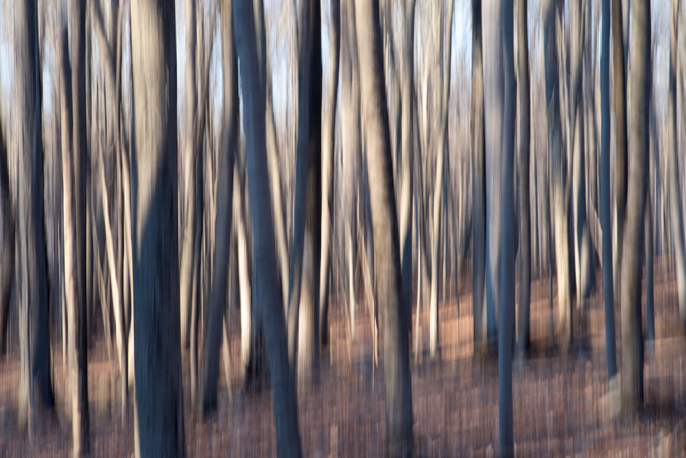 Dance of light and shadow on tree trunks, Redding