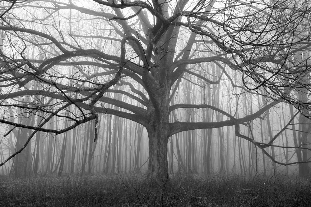Tentacles of branches in the fog, Bennett's Pond, Ridgefield
