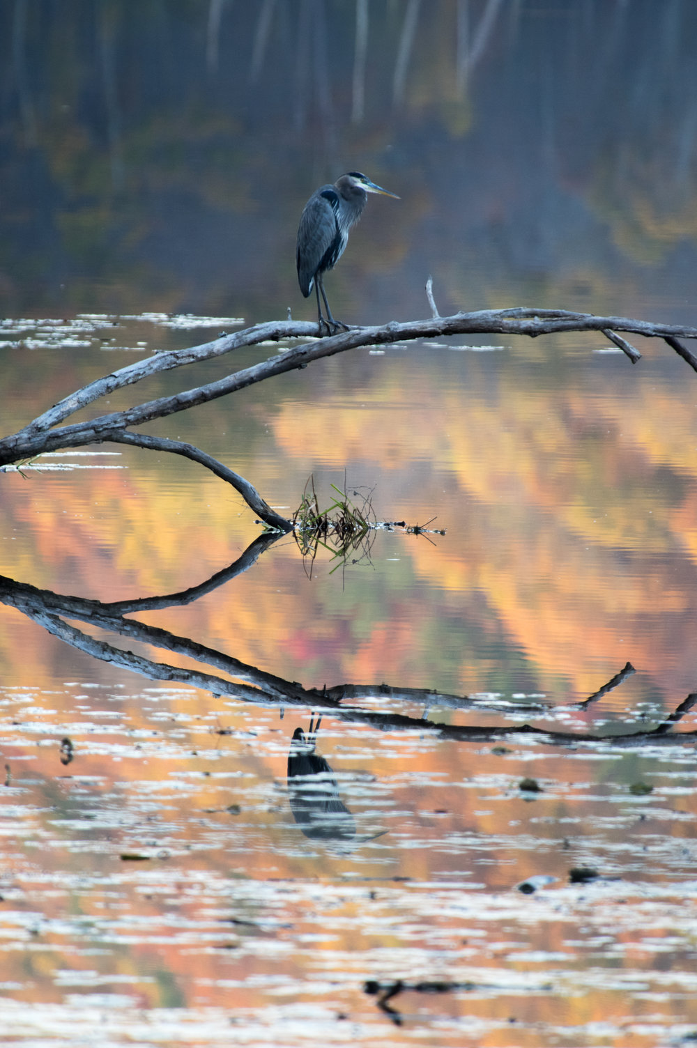 A great blue heron and autumn colors reflecting, Bennett's Pond, Ridgefield
