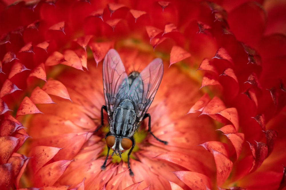 A fly on strawflower, Katherine Ordway Preserve, Weston