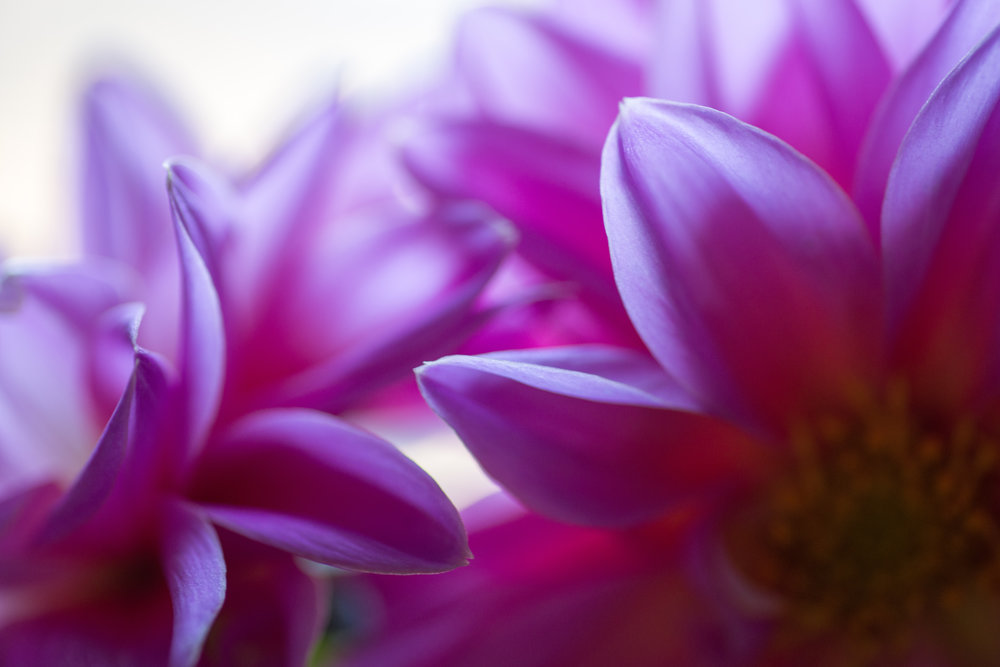 Light streams in on dahlia blossoms, Redding