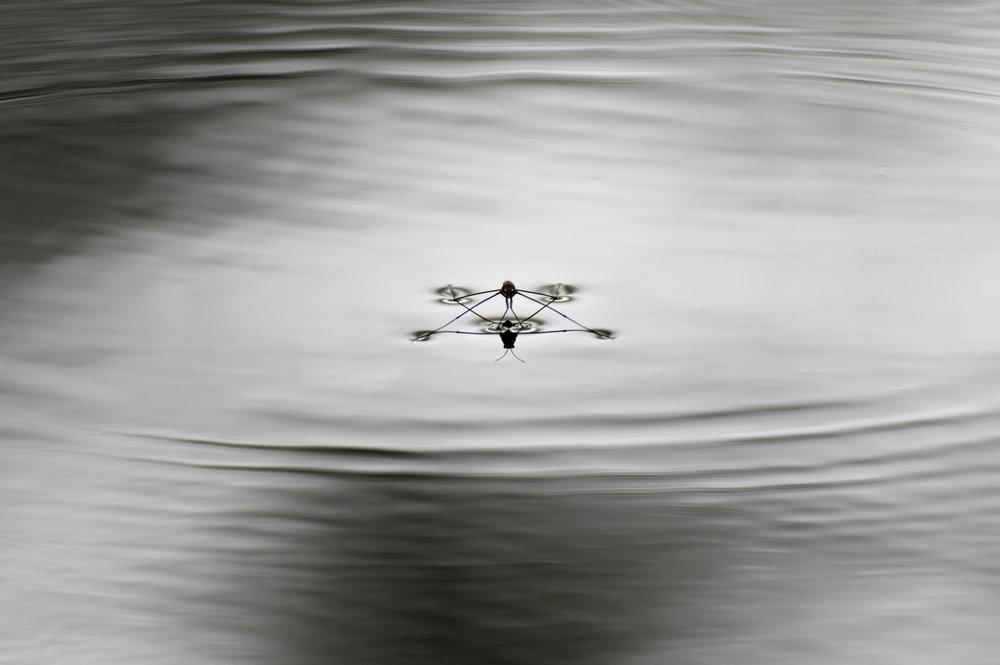water strinder lg nm.jpg