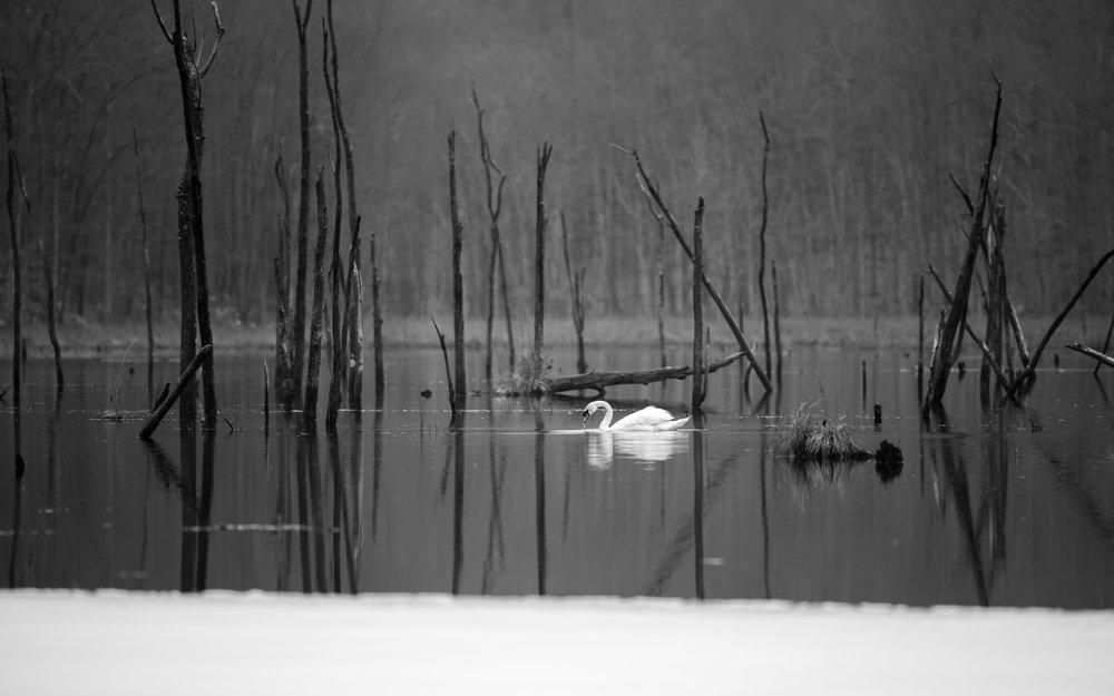 swan bennett's pond b&w lg.jpg