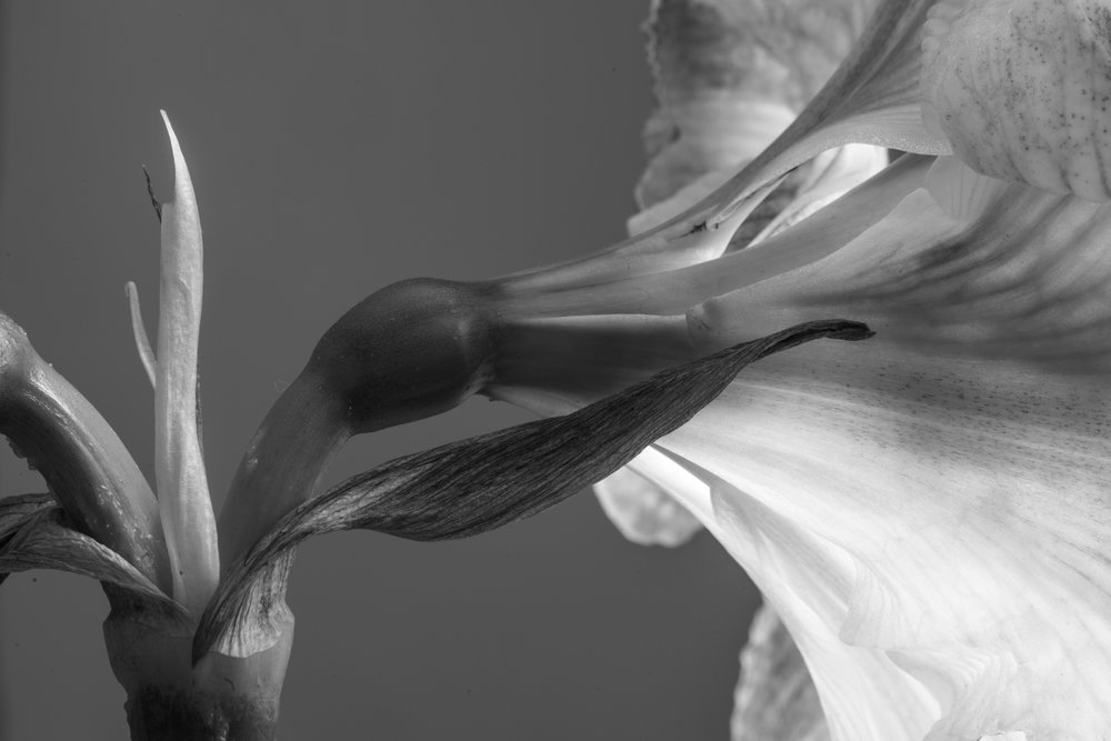 Hippeastrum (Amaryllis) Sideview Study 1