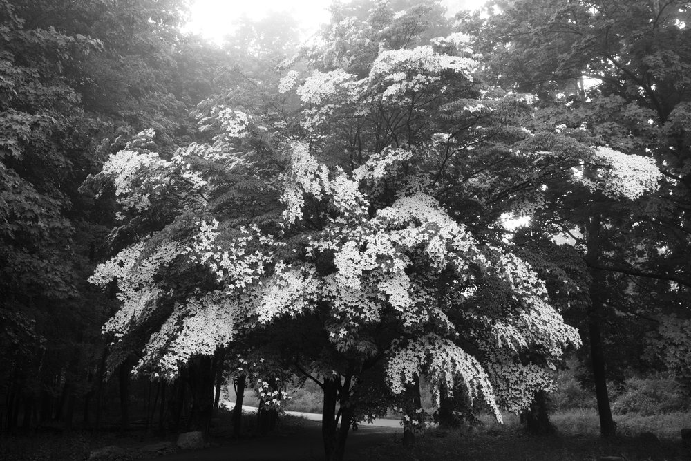 Dogwood in bloom, Ridgefield, CT