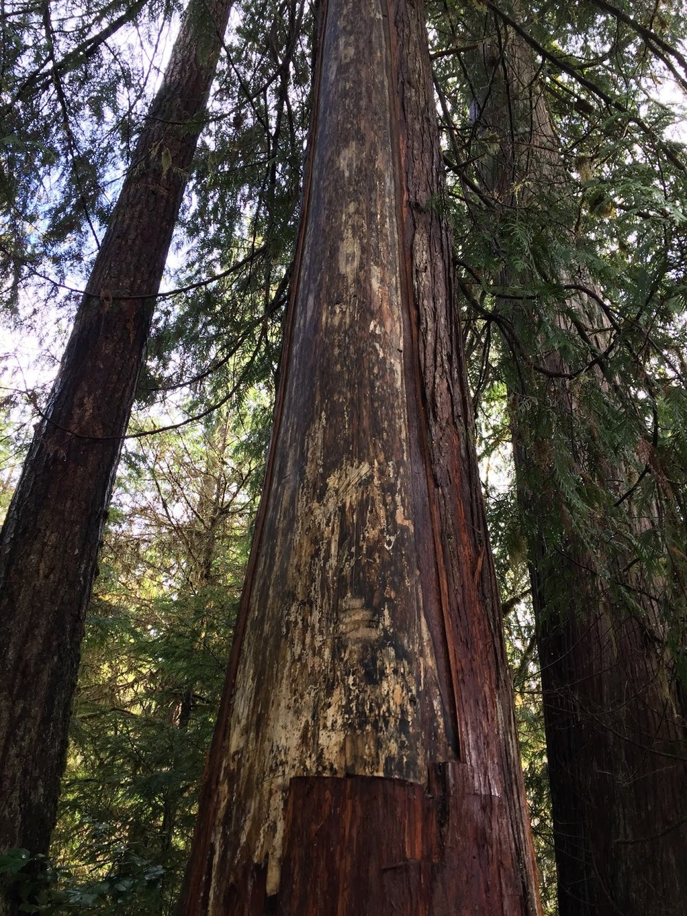 A sacred cedar tree with some of the bark removed  in a respectful way