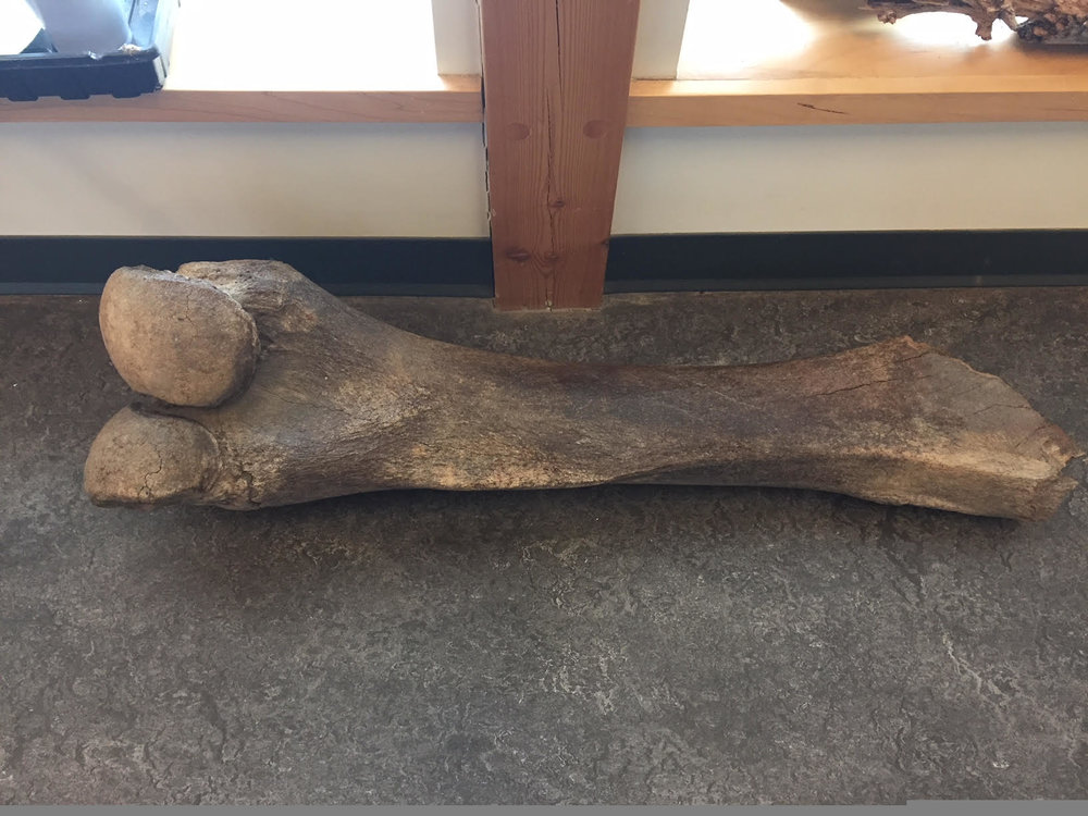The ancient Mammoth bone