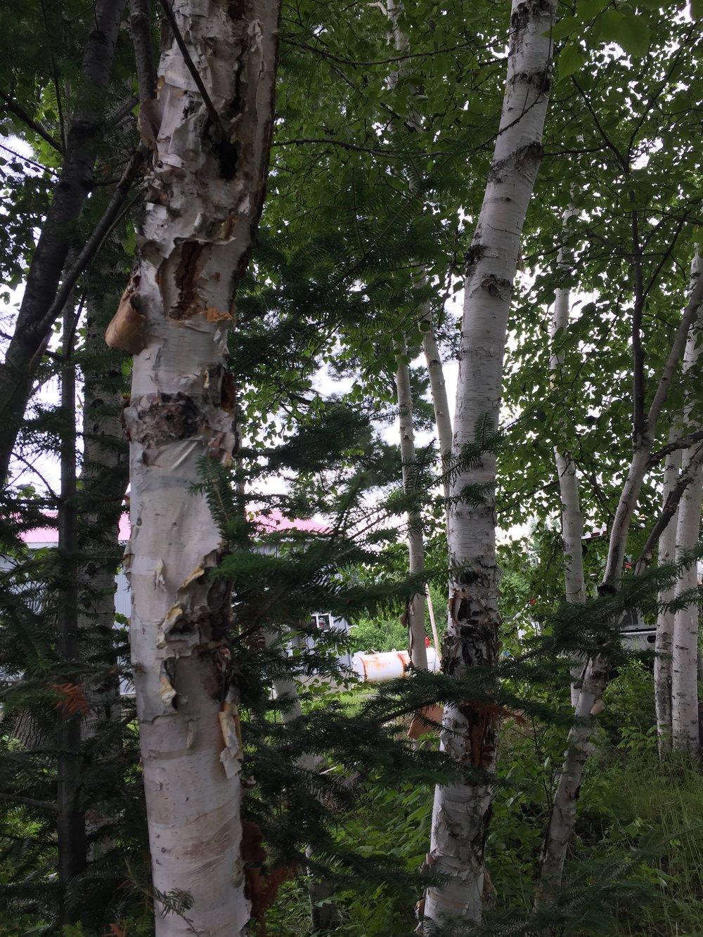Birch Tree morning