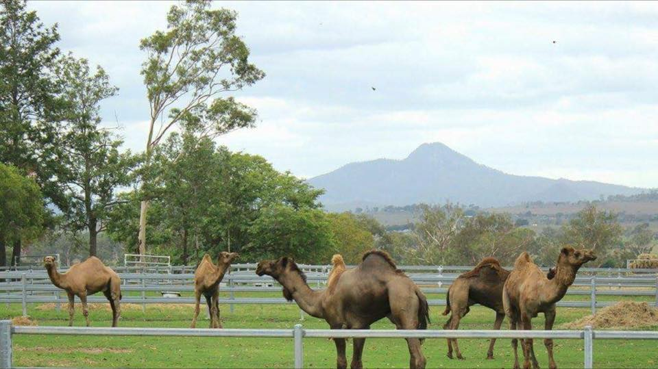 Camels at Harrisville.jpg