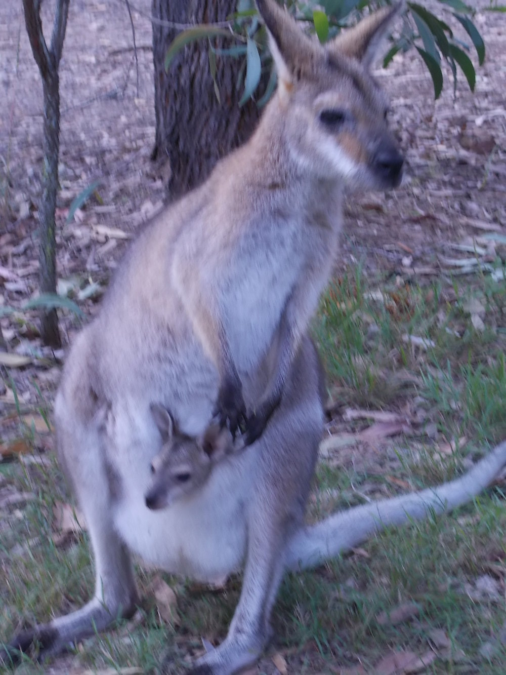 Wallaby and Joey in its pouch