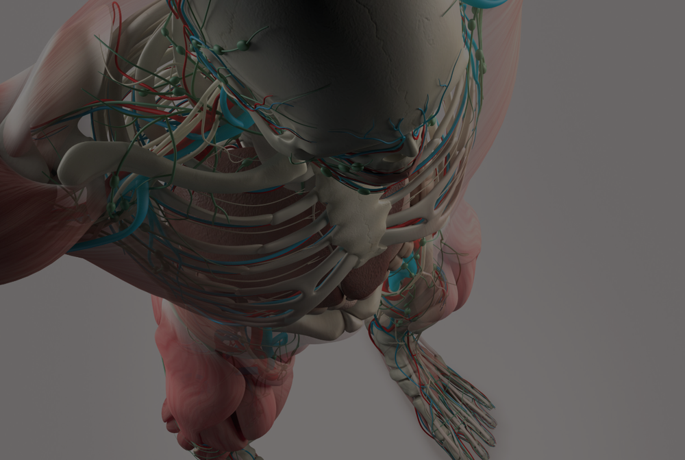 Dynamic Human Model Medical Science Health Education