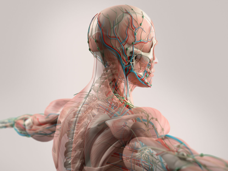 Dynamic Human Model - Medical - Science - Health - Education