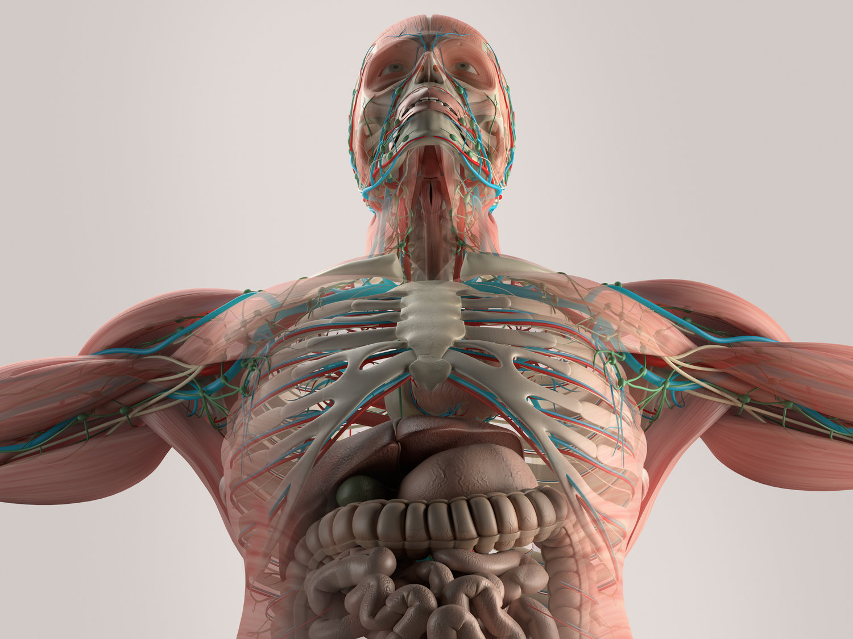 Dynamic human model medical science health education dynamic human body completeg ccuart Gallery