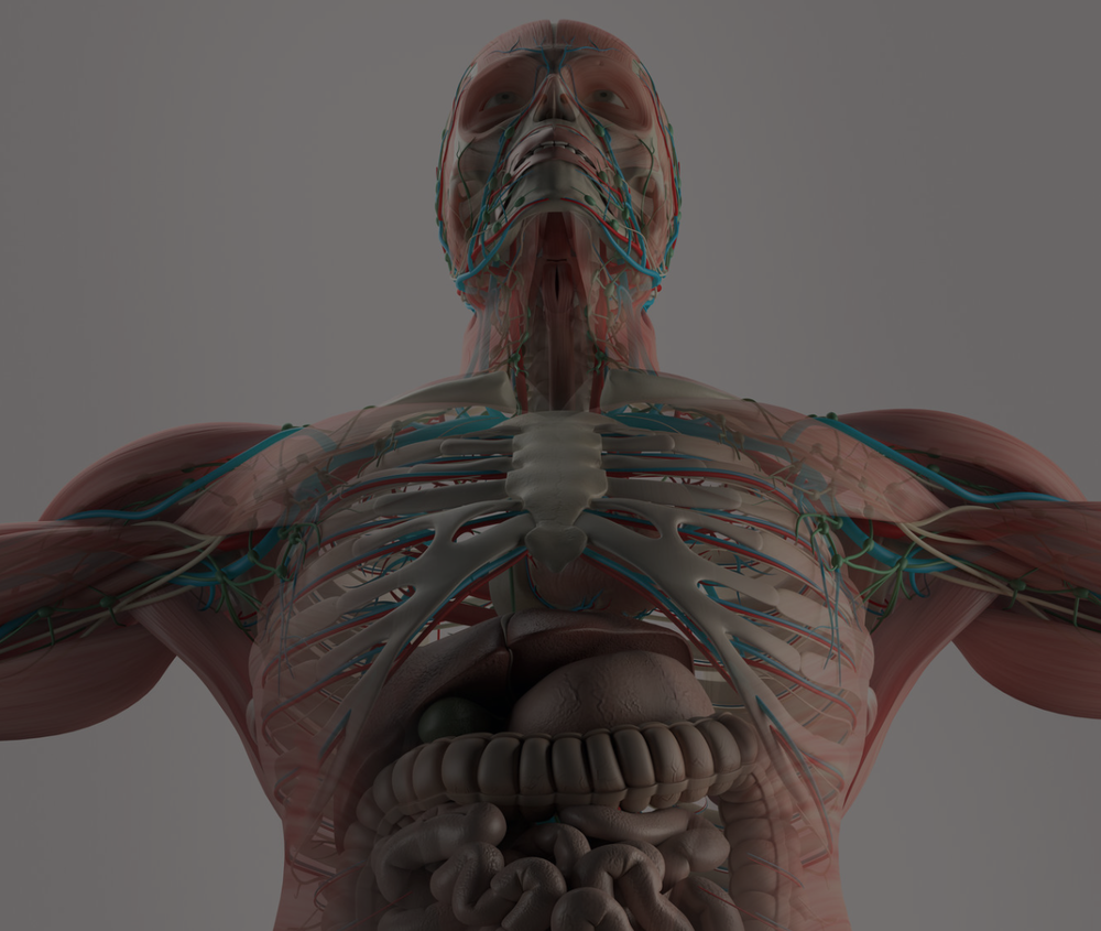 Dynamic Human Model - Medical - Science - Health - Education