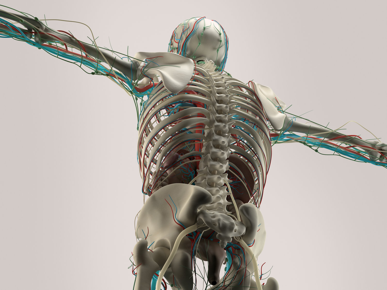 Dynamic Human Model Medical Science Health Education