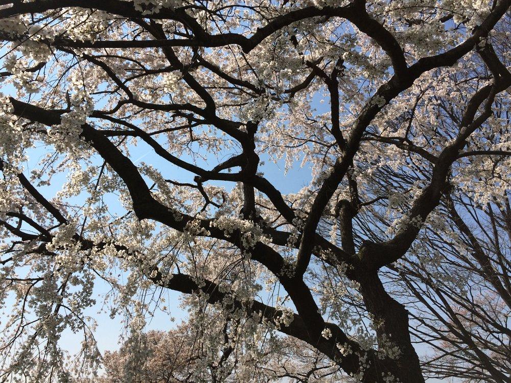CherryBlossomTree.JPG