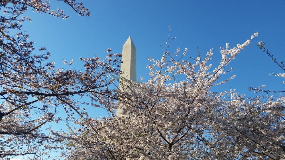 DCMonumentCherryBlossoms