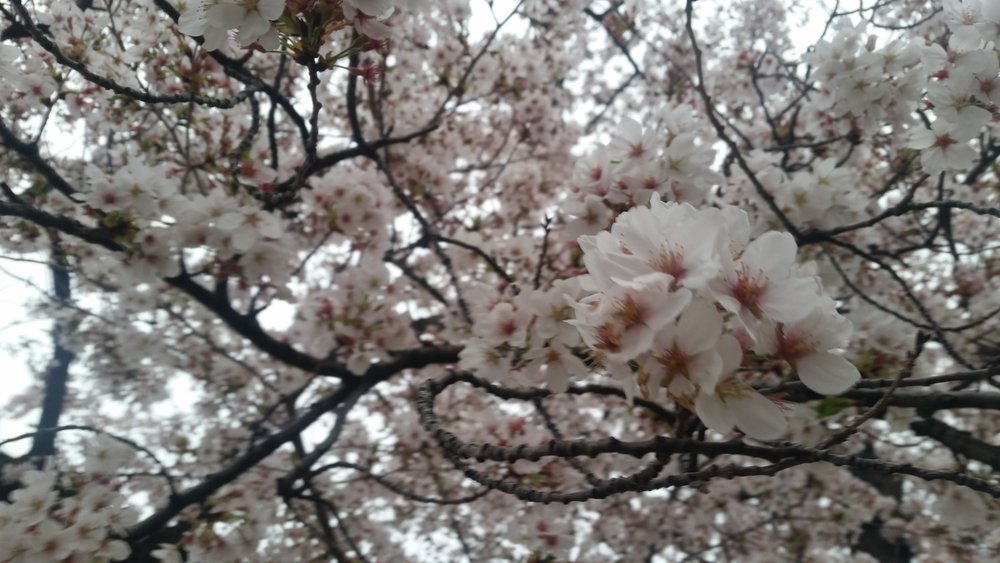 FlowerBloomsCherryBlossomFestival