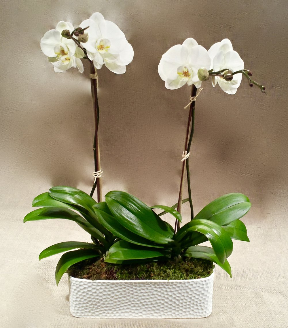 double white phalaenopsis orchid in white ceramic container1.jpg