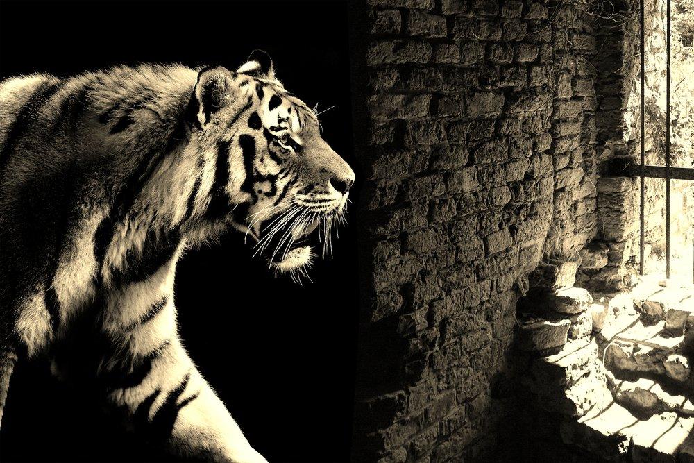 tiger-2331336_1920.jpg