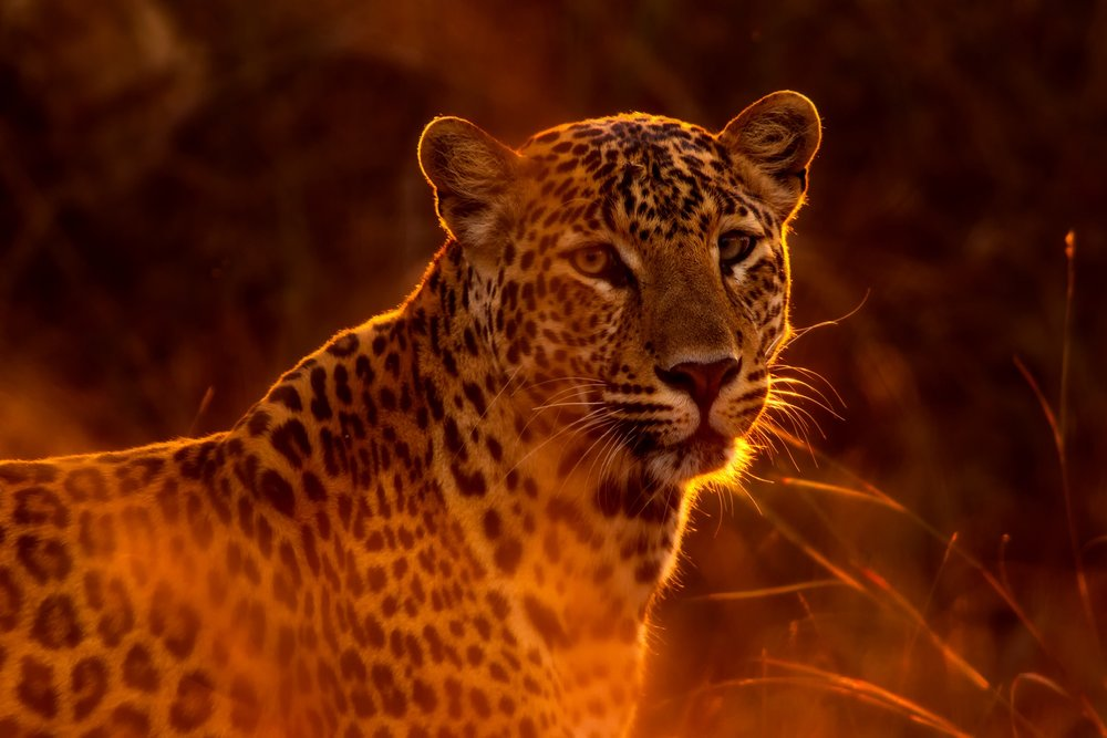 The Way of the Lazy Leopard