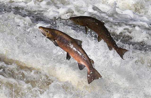 Atlantic Salmon -  Copyright to Walter Baxter,  image  used under a  creative commons Attribution-ShareAlike 2.0 Generic (CC BY-SA 2.0) license.