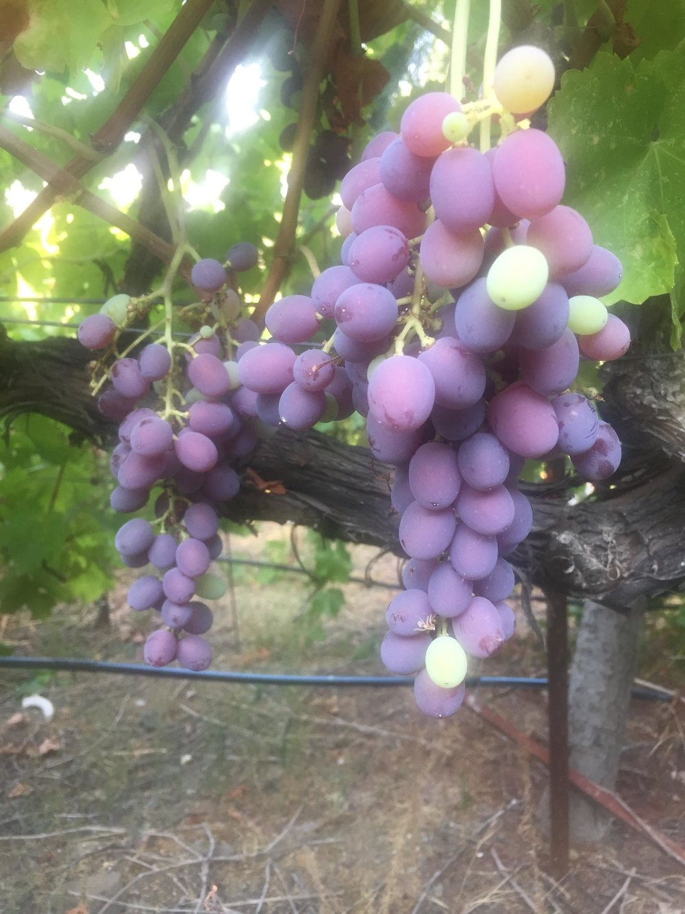 Table Grapes.jpg