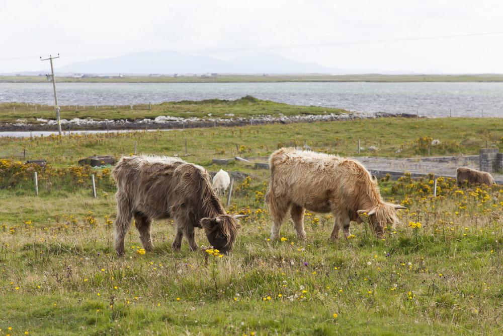 cait rammy scotland cows.jpg