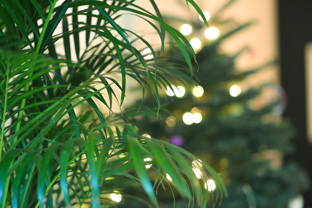 Our palm and pine make a beautiful duo in our California Christmas.