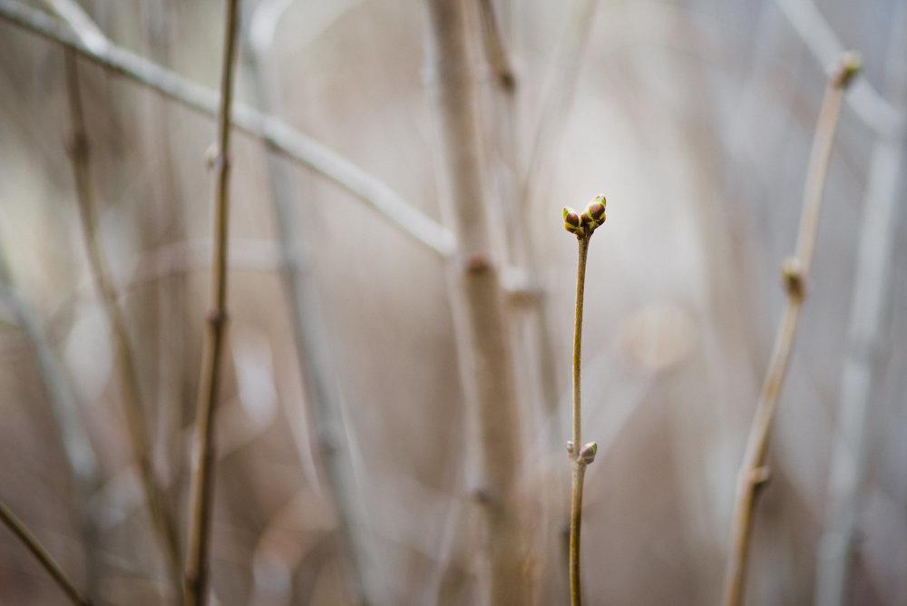 early lilac bud in Lincoln Nebraska.jpg