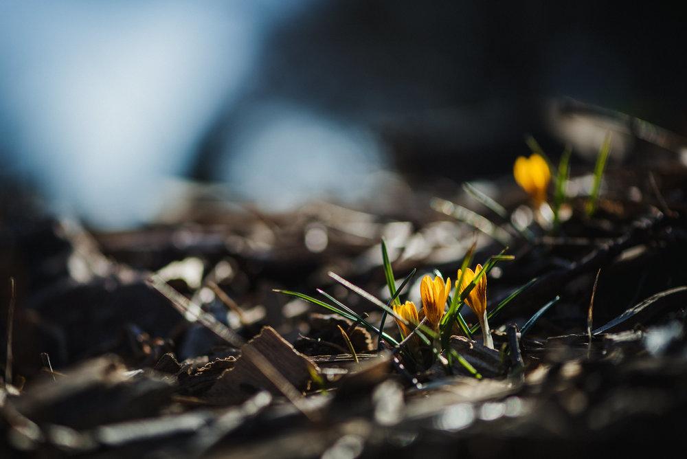 tiny yellow crocus flowers spring in Lincoln Nebraska.jpg