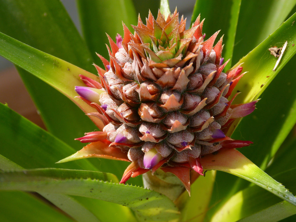 A flowering pineapple. Image credit: Flickr user rusty_clark, CC BY 2.0.