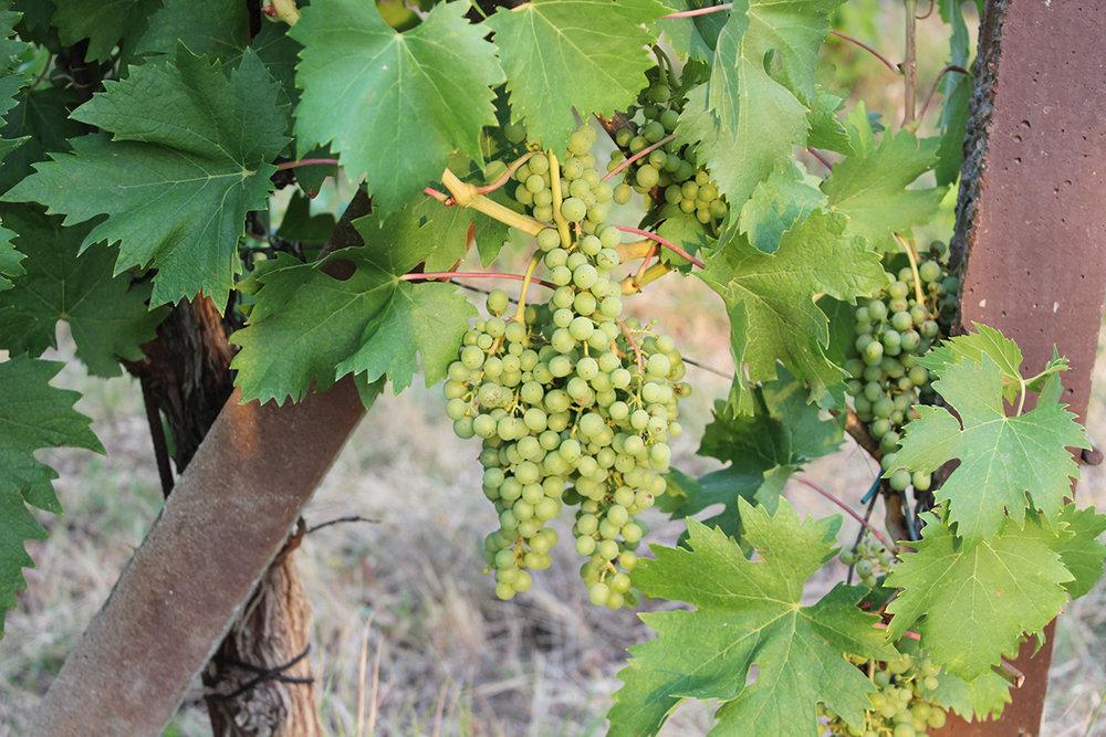 Chianti vingård