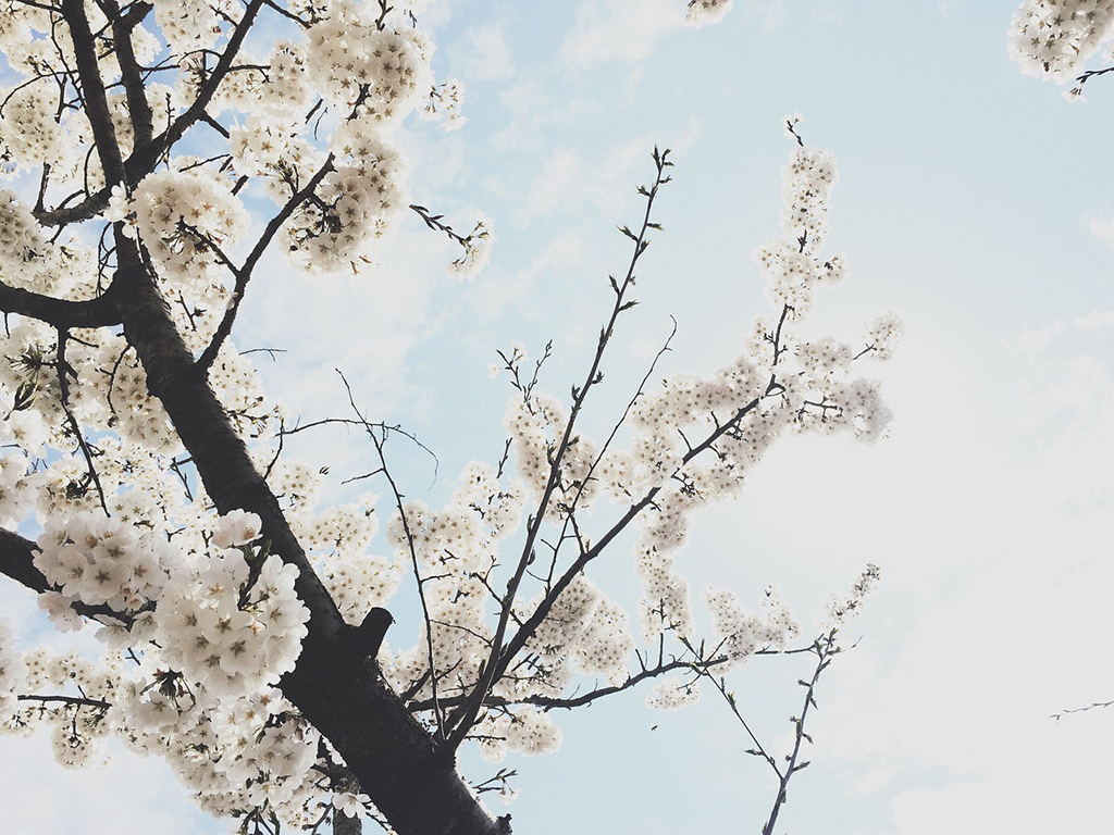 cherry_blossoms1