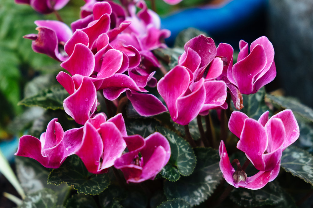 Cyclamen's bring a splash of colour