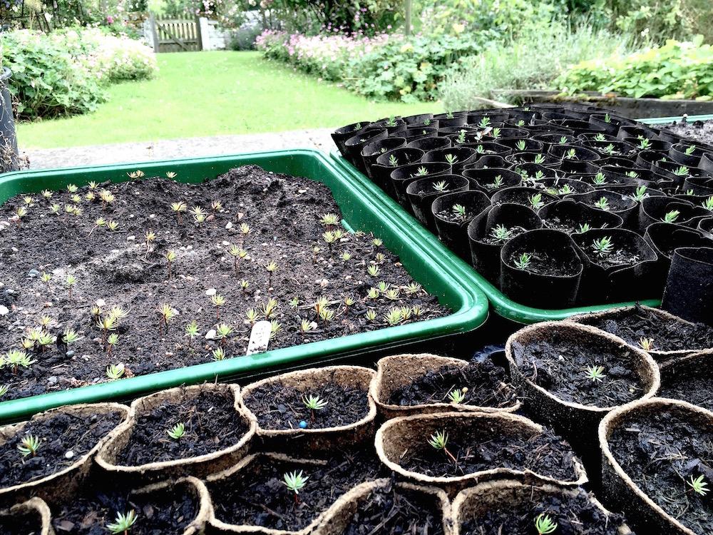 Juniper seedlings