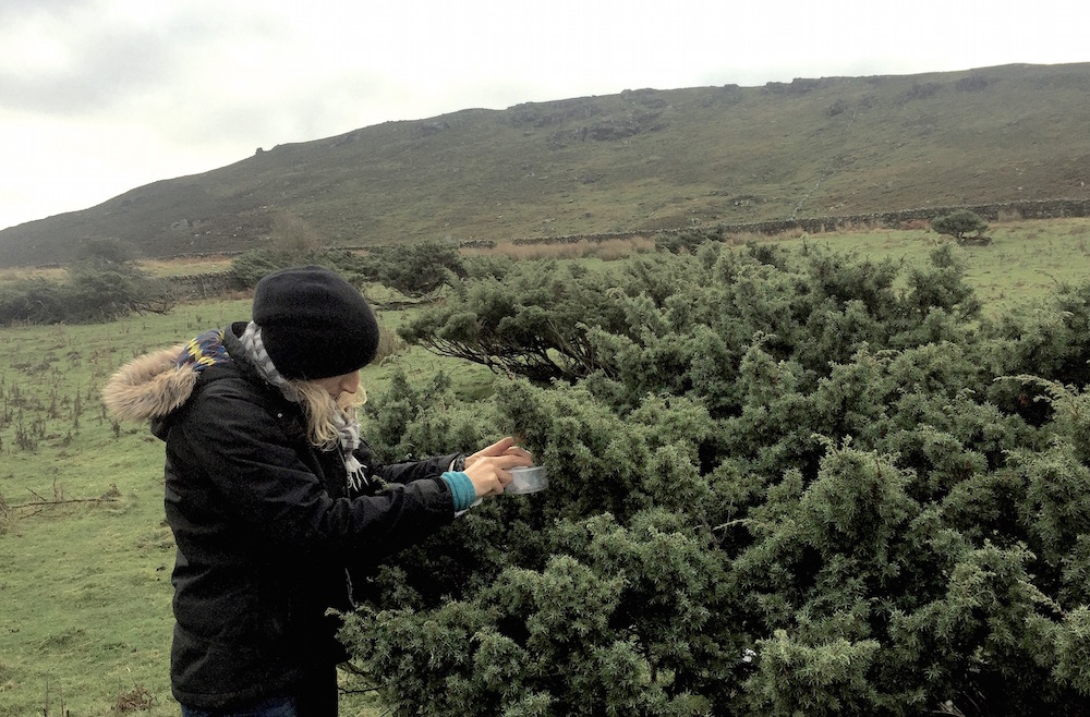 Selecting junipers