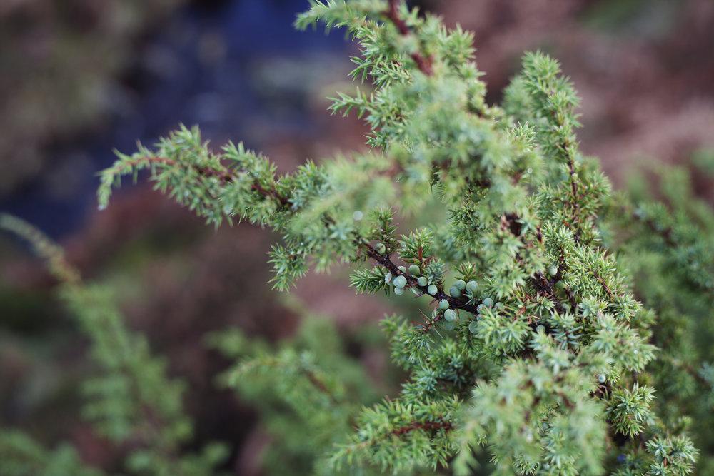 Unripe Hepple Juniper