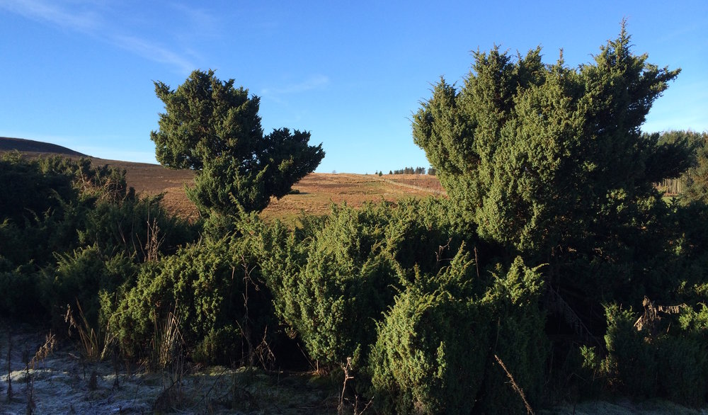 Our Juniper stand