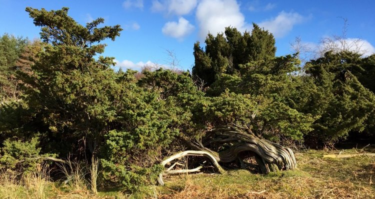 JUNIPERUS NOT SO COMMUNIS    March 2, 2016