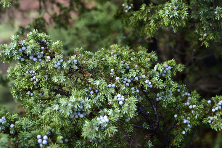 THE GREEN JUNIPER    October 9, 2017
