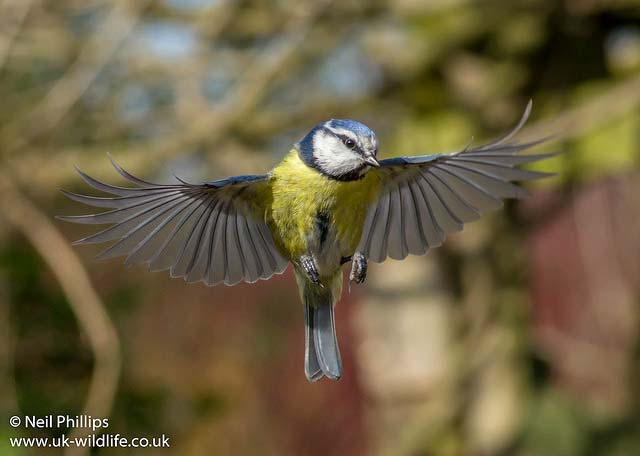 A blue tit hovering.