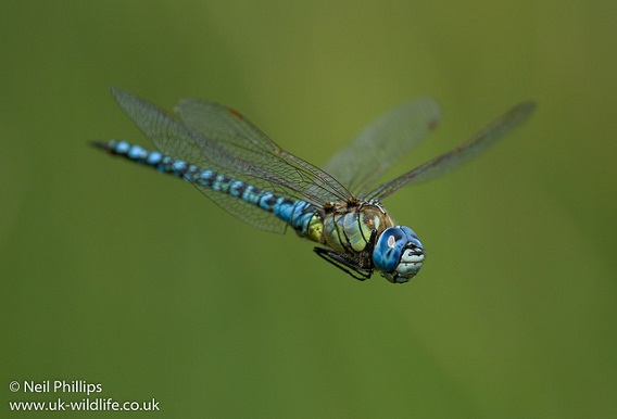 Wat Tyler has some of the best dragonfly habitats in Essex