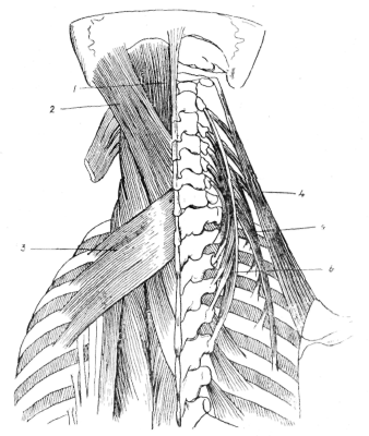fig-70-deep-muscles-of-the-upper-part-of-the-back