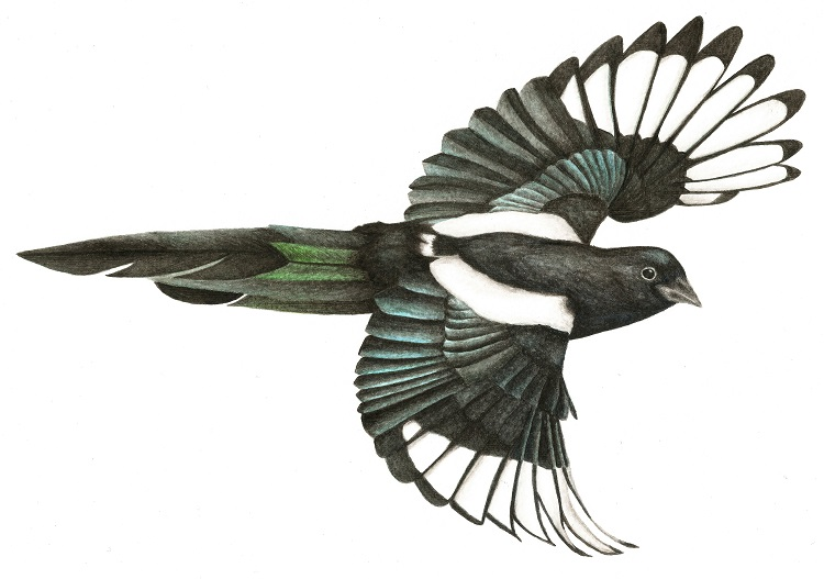 magpie-small.jpg