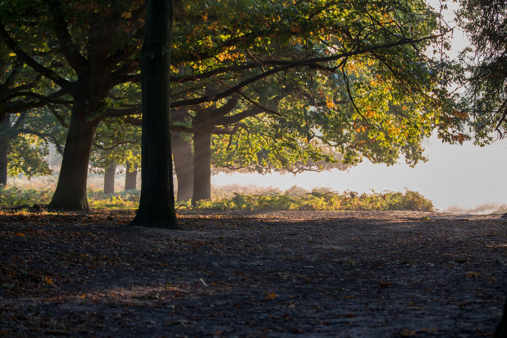 fox-of-richmond-park.jpg