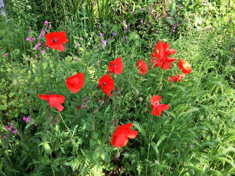 london-zoo-poppies-2.jpg