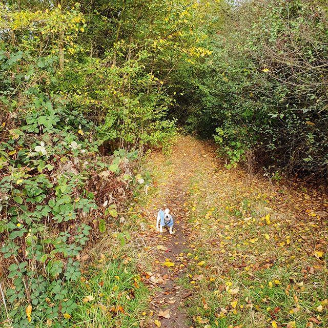 Bruce loves walking ❤️🐶🍁🍂🍃 . . . #Autumn #AutumnWalks #JackRussell #JackRussellTerrier #JRT #JackRussellPuppy  #Puppy #Puppies #PuppiesOfInstagram #PupsOfInstagram #DogsOfInstagram #Dogstagram #DogLovers